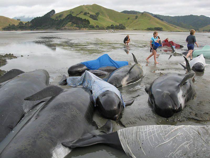 Resultado de imagem para baleia piloto nova zelandia