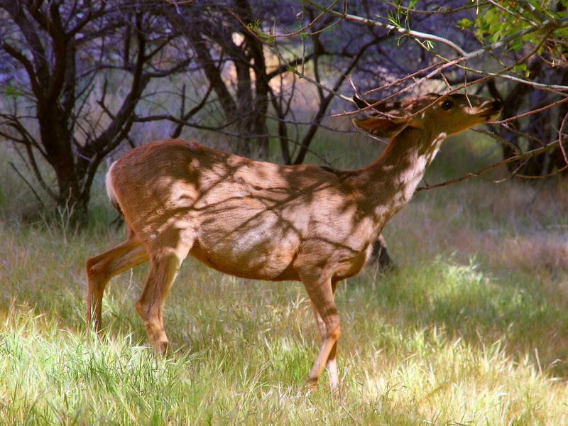 IMG_2236 Mule Deer, Indian Garden, Bright Angel Trail