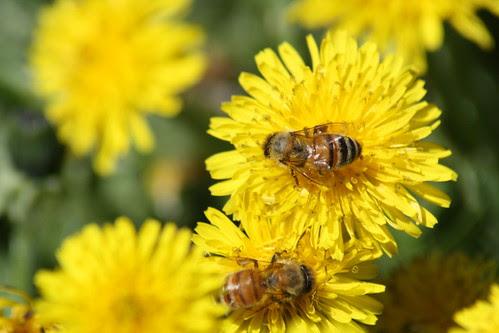 buzzing on a dandelion