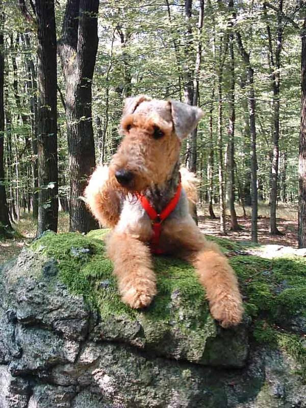 PUPPY CARE CENTER: Airedale Terrier Puppy Care Center and The dog breed is a full service animal