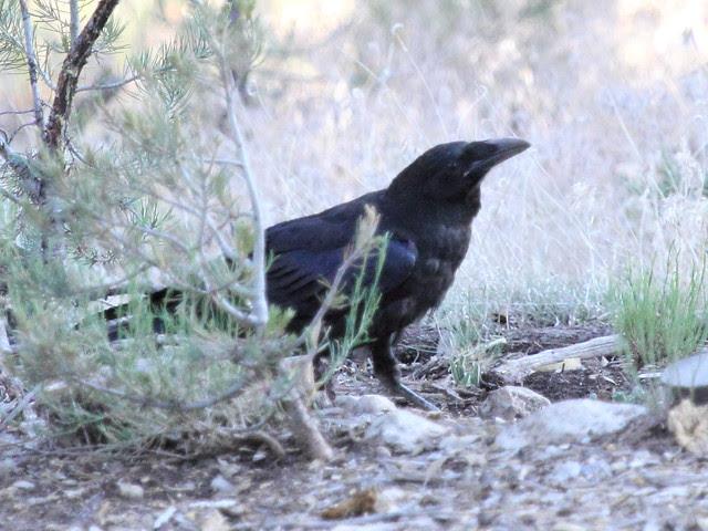 Common Raven juvenile 20130618