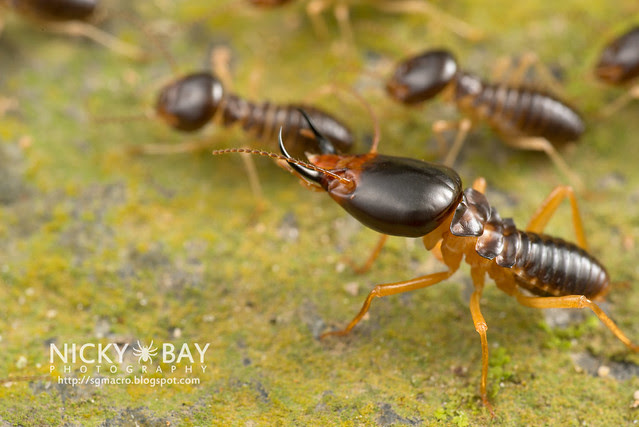 Big-Headed Termites - DSC_1851