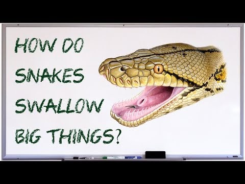How does a snake swallow an animal which is larger than its mouth?