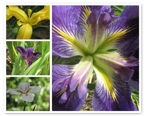 Iris Blooming