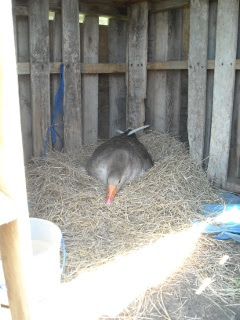 Gigi the Goose Sitting on Her Clutch of Eggs