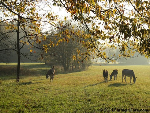 Autumn morning in Donkeyland 3 - FarmgirlFare.com