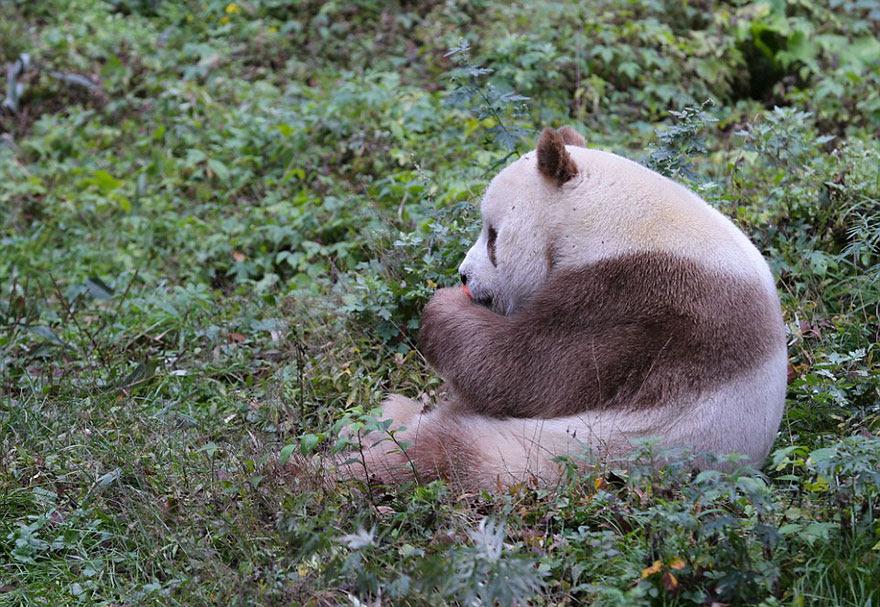 abandonou-brown-panda-qizai-2