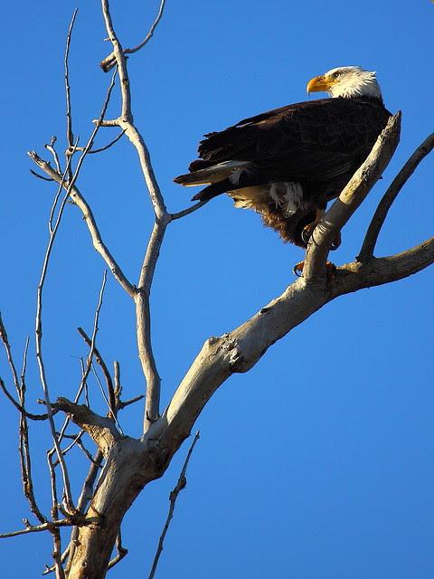 IMG_8503 Bald Eagle