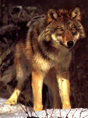Lobo Rojo Lobopedia