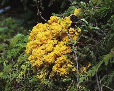 File:Slime Mold Olympic National Park North Fork Sol Duc.jpg