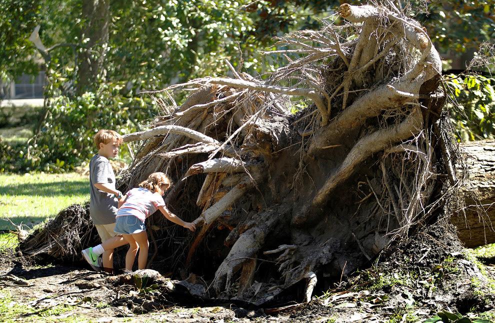 Вырванное огромное дерево
