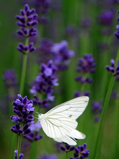 ✯ In the lavender fields ..by Patrick Colgan✯ This is Beyond!