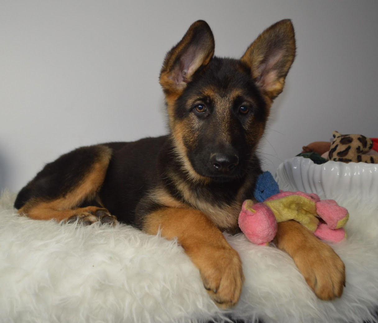 Afghan German Shepherd Mix