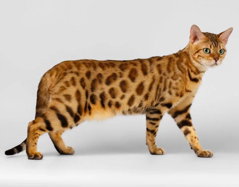 Hybrid Cat Breeds Exotic House Cat