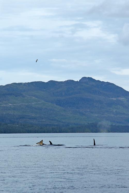 killer whale pod, Karta Bay, Alaska