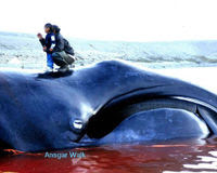 Don't Let Korea Kill Whales for Research!