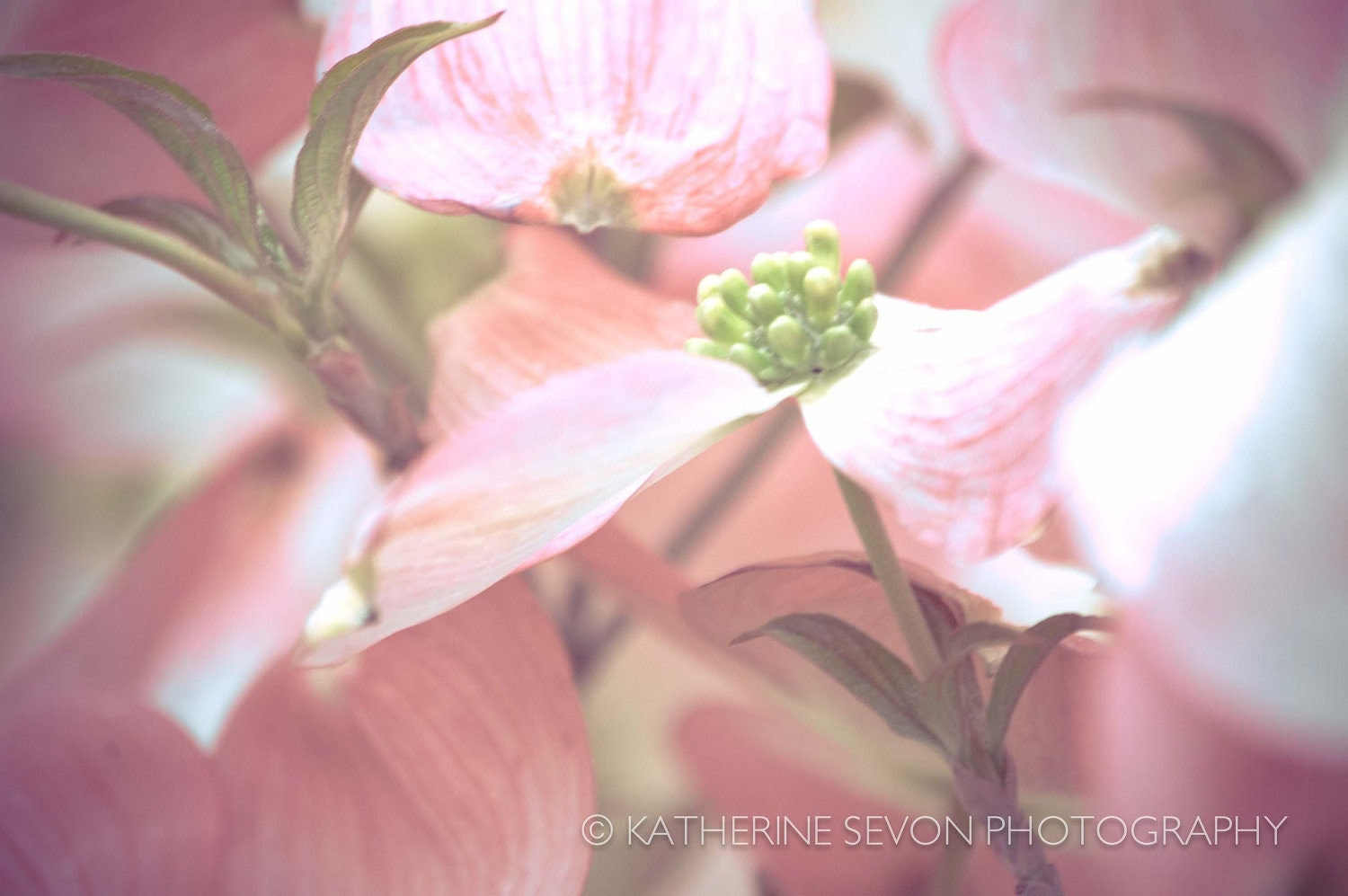 Nature Photography - Flower Photography - Pink Dogwood Flowers - 8x12 Photo Print