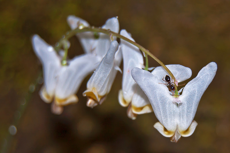 Ant on Dutchman's Breeches