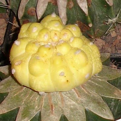 astrophytum asterias variegado