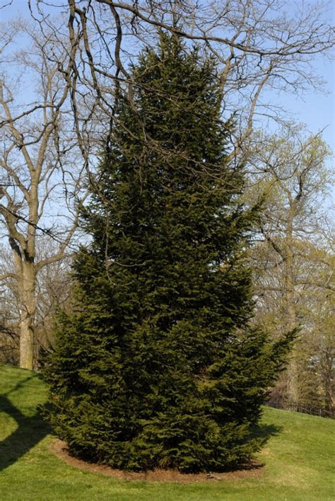 Norway Spruce   FaveThing.com