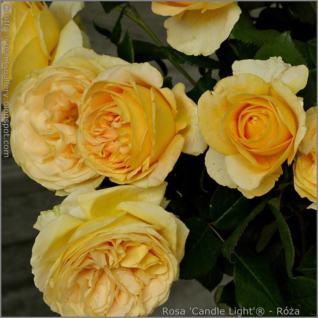 Rosa 'Candle Light'® - Róża