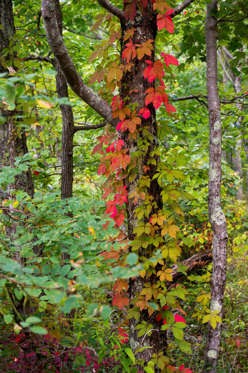 UNITED STATES - 2015/09/20: A vine with fall colors on a tree in the forest near Laurel Falls in the Great Smoky Mountains National Park in Tennessee, USA. (Photo by Wolfgang Kaehler/LightRocket via Getty Images)