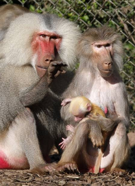 Os pais protegem o bebê babuíno