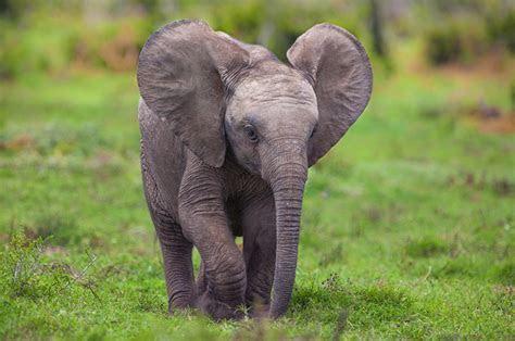 Este bebé elefante intentando tomar un baño es