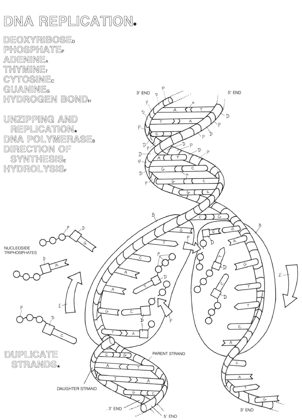 13 Best Images of The DNA Double Helix Coloring Worksheet ...