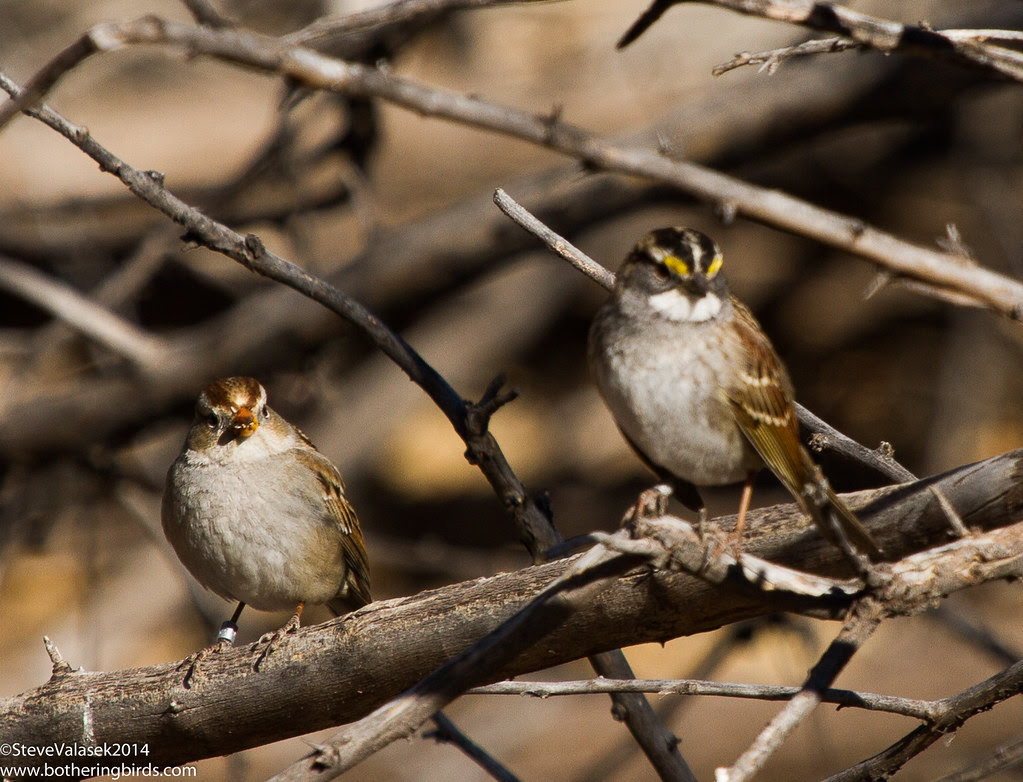 Sparrows: White-Crowned and White-Throated