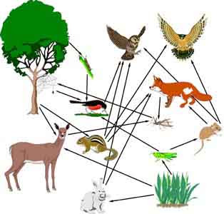 What is the difference between food chains and food webs?