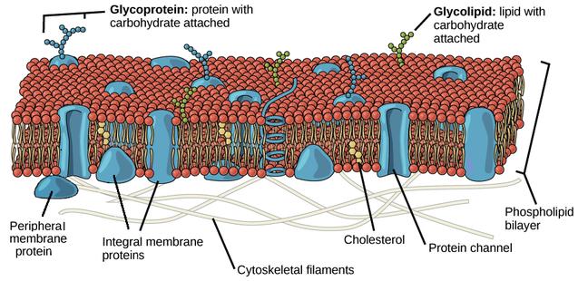 Plasma Membrane Diagram