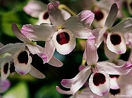 Dendrobium nobile, Dendróbio