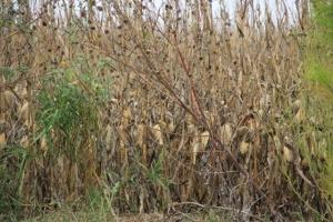 cornfields, haunted style 006 (640x427)