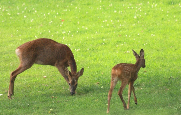 Roe deer doe and fawn