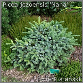 Picea jezoensis 'Nana' - Świerk ajański