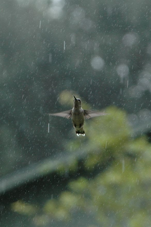 This photo is SO beyond beautiful! I love it with 1,000 hearts! It's a hummingbird caught in the middle of it's rain dance! Thank you, Lara! Merci! Merci! :)