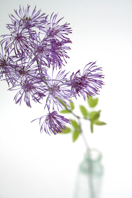Meadow Rue (Thalictrum)