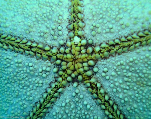Cushion Seastar mouth