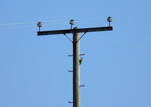 12237 - Green Woodpecker, Pontarddulais