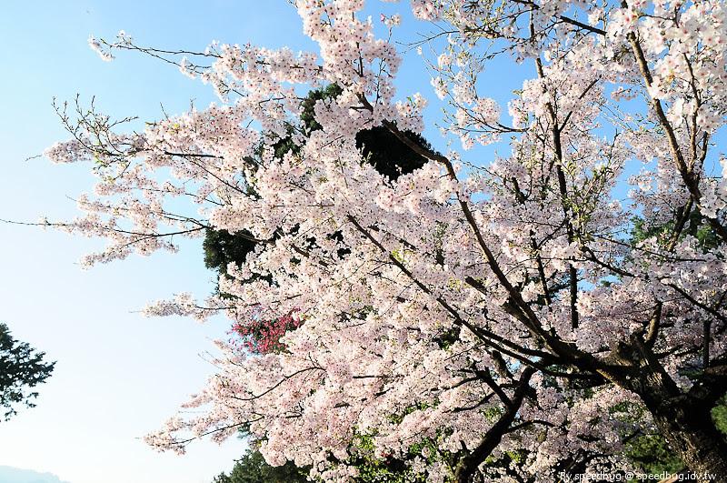 阿里山櫻花季20