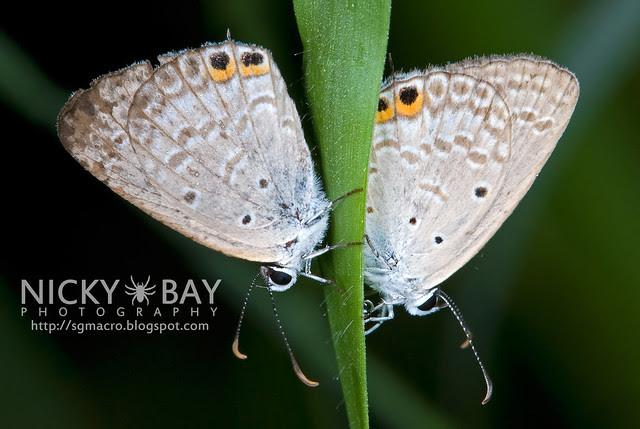 Gram Blues (Euchrysops cnejus) - DSC_7976