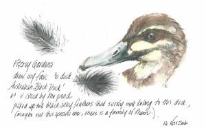 14Nov14 Australian black duck