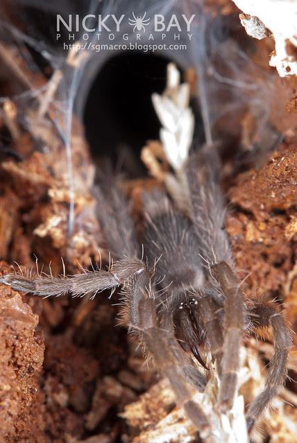 Tarantula (Phlogiellus sp.) - DSC_9753