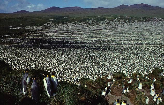 pinguinos-rey2