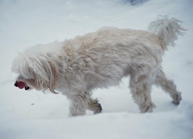 Moose snow