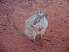 Rufous Hare Wallaby