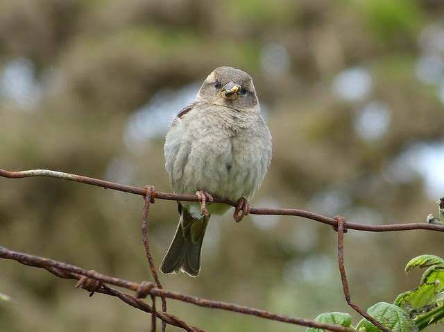 27467 - House Sparrow, Marloes Mere