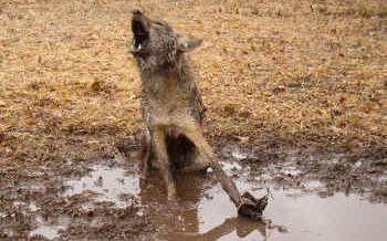 Steel trap wolf leg