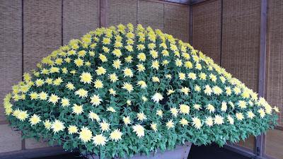 Chrysanthemums in Shinjuku,Tokyo, Japan, The Ozukuri bed